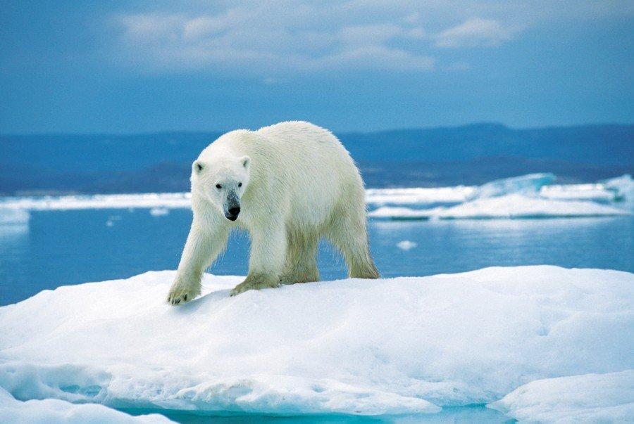 دراسة تحذر من انقراض الدب القطبي بعد 80 عاما